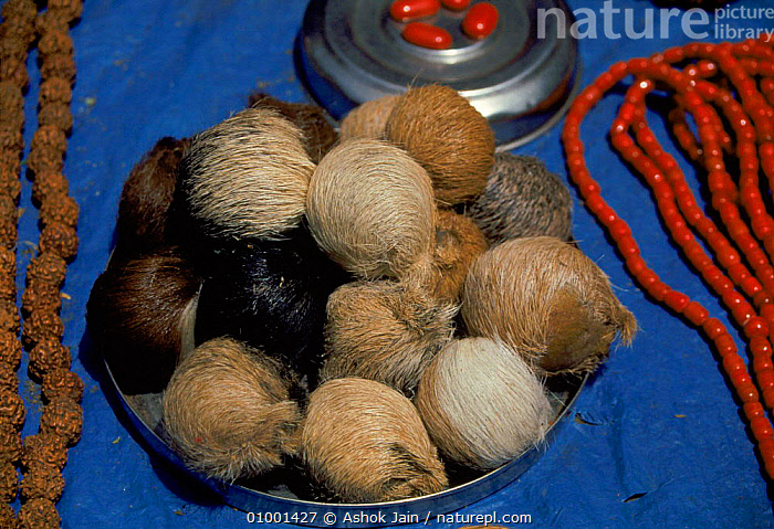 Musk pods from musk deer for sale at roadside market in Delhi. Probably Moschus chrysogaster  ,  AK,CHRYSOGASTER,HORIZONTAL,INDIAN SUBCONTINENT,MAMMALS,MARKET,POACHING,PODS,TRADE,ASIA  ,  Ashok Jain