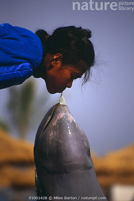 Irrawaddy river dolphin (Orcaella brevirostris) Oasis Sea World, Bangkok, Thailand, 1991  ,  AQUARIUM,CAPTIVITY,DOLPHIN,DOLPHINARIA,DOMESTICATED,ENDANGERED,INTERACTION,MAMMALS,MIXED SPECIES,PEOPLE,PERFORMANCE,RIVER DOLPHINS,SOUTH EAST ASIA,TRAINER,VERTICAL,Asia  ,  Miles Barton