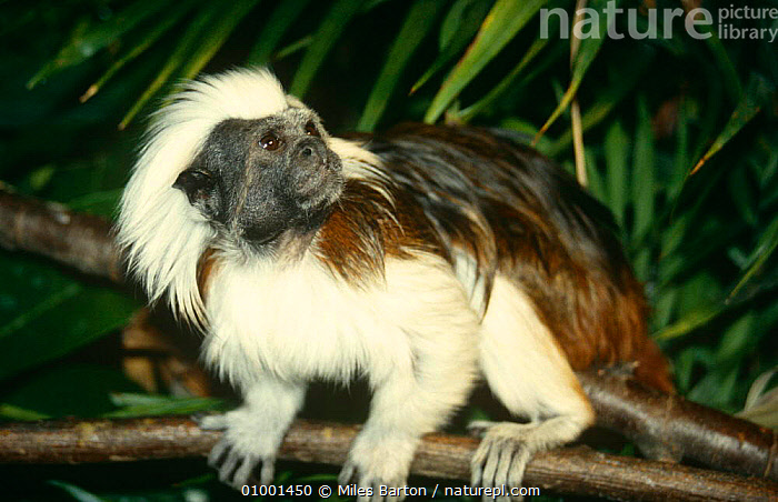Cotton-top tamarin (Saguinus oedipus) captive, from South American rainforest  ,  ENDANGERED,MAMMALS,PRIMATES,SOUTH AMERICA,TAMARINS,VERTEBRATES,Marmosets ,Cottontop tamarin,  ,  Miles Barton