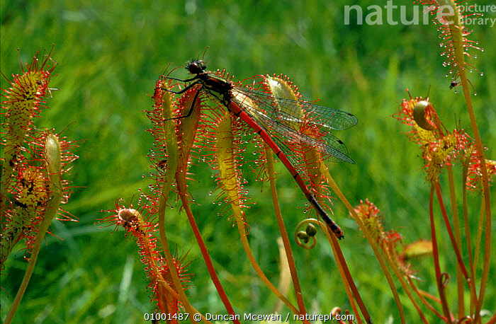 Large red damselfly (Pyrrhosoma nymphula) caught on leaves of Long-leaved sundew., ARTHROPODS,BOGS,CAUGHT,DAMSELFLIES,EUROPE,HORIZONTAL,,INSECTS,INVERTEBRATE,SCOTLAND,SUNDEW,TRAPPED,UK ,INSECTIVOROUS,UNITED KINGDOM,WETLANDS,PLANTS,INVERTEBRATES,BRITISH,ODONATA, Duncan Mcewan