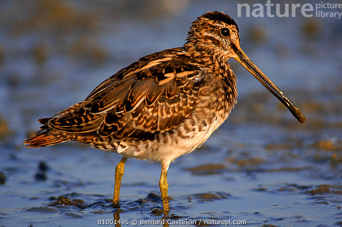 Snipe in wetland, Belgium, Europe  ,  BC,BELGIUM,BIRDS,EUROPE,FEEDING,HORIZONTAL,WADERS,WATER,WETLANDS  ,  Bernard Castelein