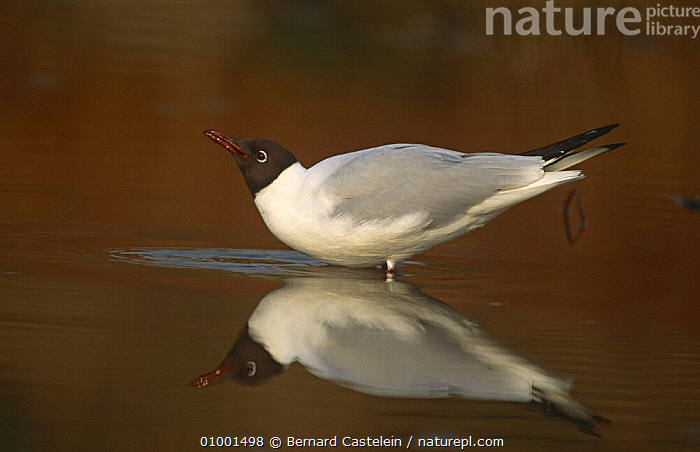 Black-headed gull {Chroicocephalus ridibundus} drinking, Belgium, , BEHAVIOUR, BELGIUM, BIRDS, DRINKING, GULLS, PROFILE, SEABIRDS, VERTEBRATES, WATER,Europe, Bernard Castelein