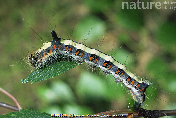 Caterpillar larva of Grey Dagger (Acronicta psi)  Scotland, UK  ,  CRYPTIC,EUROPE,INSECTS,INVERTEBRATES,LARVAE,LEPIDOPTERA,MOTHS,NOCTUID MOTHS,SCOTLAND,UK,WARNING COLOURATION,United Kingdom,British  ,  Duncan Mcewan
