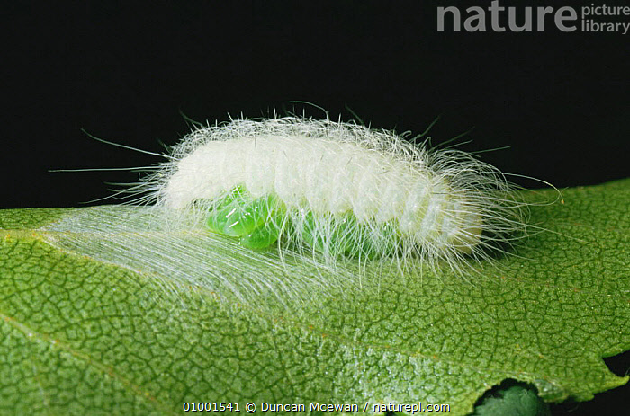 Parasites on caterpillar larva of Miller moth (Acronicta leporina) Scotland, UK, DISEASE,EUROPE,HAIRY,INSECTS,INVERTEBRATES,LARVAE,LEPIDOPTERA,MOTHS,NOCTUID MOTHS,PARASITES,SCOTLAND,UK,United Kingdom,British, Duncan Mcewan