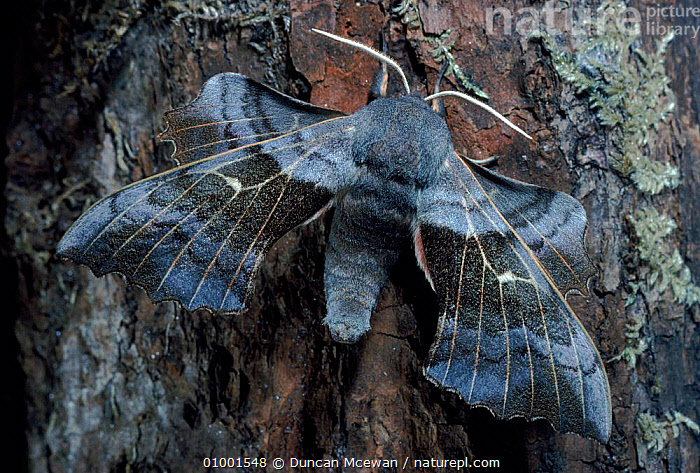 Poplar hawkmoth resting on oak tree trunk, UK  ,  BARK,BROWN,CAMOUFLAGE,DMC,EUROPE,HORIZONTAL,INSECTS,OAK,SCOTLAND,UK,WINGS,UNITED KINGDOM,PLANTS,INVERTEBRATES,BRITISH,LEPIDOPTERA  ,  Duncan Mcewan