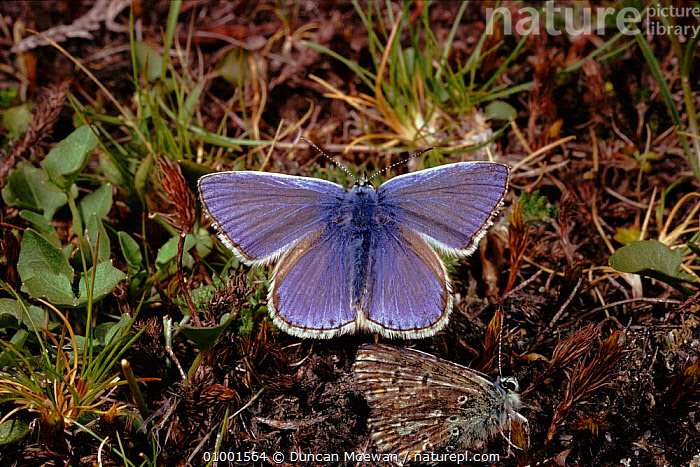 Common Blue butterflies showing upper and under wing colours.  ,  CAMOUFLAGE,COLOUR,DMC,EUROPE,HEATHLAND,HORIZONTAL,INSECTS,INVERTEBRATES,SCOTLAND,UK,WING,UNITED KINGDOM,BRITISH  ,  Duncan Mcewan