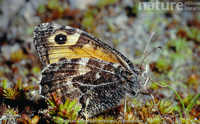 Grayling butterfly, wings closed on dune moss (Hipparchia semele) Scotland, UK, BUTTERFLIES,INSECTS,INVERTEBRATES,LEPIDOPTERA,SCOTLAND,UK,EUROPE,UNITED KINGDOM,BRITISH, Duncan Mcewan