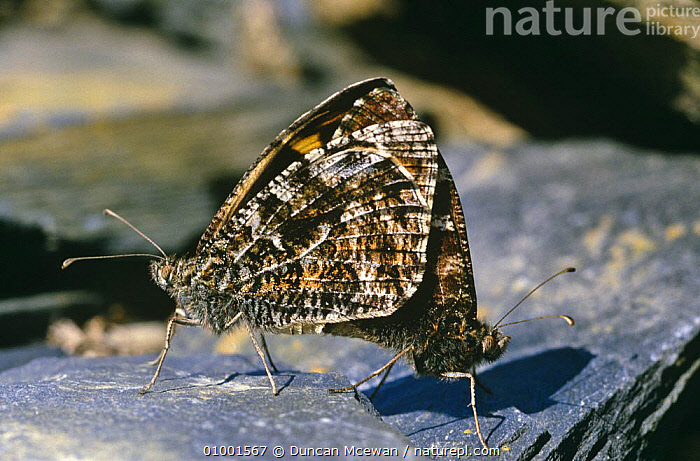 Grayling butterfly mating pair (Hipparchia semele) UK  ,  ARTHROPODS,BUTTERFLIES,EUROPE,FEMALES,GRAYLING,INSECTS,INVERTEBRATES,LEPIDOPTERA,MALE FEMALE PAIR,MALES,MATING BEHAVIOUR,PAIR,REPRODUCTION,SCOTLAND,TWO,UK,United Kingdom,British  ,  Duncan Mcewan