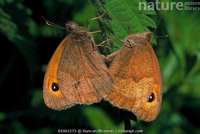 Meadow Brown butterflies mating pair (Maniola jurtina) on nettles (Urtica dioica)  ,  JULY,MATING BEHAVIOUR,LEPIDOPTERA,INSECTS,INVERTEBRATES,SCOTLAND,Europe,Reproduction  ,  Duncan Mcewan