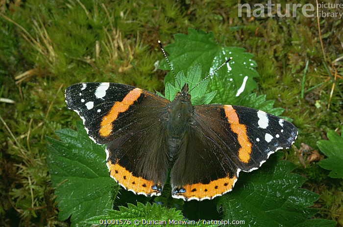 Red Admiral butterfly (Vanessa atalanta) on nettle, Scotland, ARTHROPODS,BUTTERFLIES,EUROPE,INSECTS,INVERTEBRATES,LEPIDOPTERA,RED,SCOTLAND,UK,United Kingdom,British, Duncan Mcewan