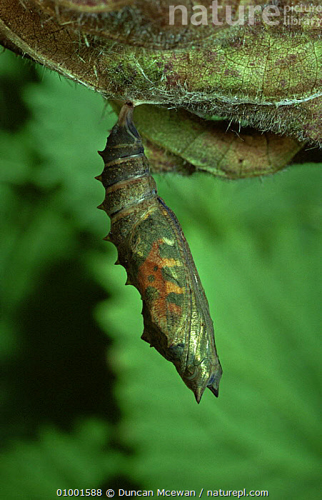 Small Tortoiseshell butterfly chrysalis (Aglais urticae) hanging from leaf, Scotland, ARTHROPODS,BUTTERFLIES,CHRYSALIS,EUROPE,INSECTS,INVERTEBRATES,LEPIDOPTERA,SCOTLAND,SMALL,UK,VERTICAL,WINGS,United Kingdom,British, Duncan Mcewan