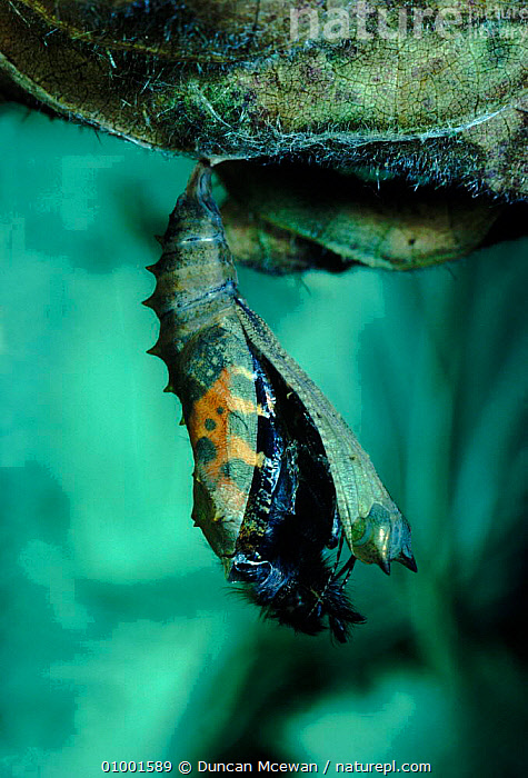 Small Tortoiseshell emerging. Small Tortoiseshell adult emerging from chrysalis, sequence 1/2. July, ADULT,CHRYSALIS,DMC,EMERGING,INSECTS,METAMORPHOSIS,SCOTLAND,SEQUENCE,SUMMER,VERTICAL,EUROPE,GROWTH,INVERTEBRATES,Concepts, Duncan Mcewan