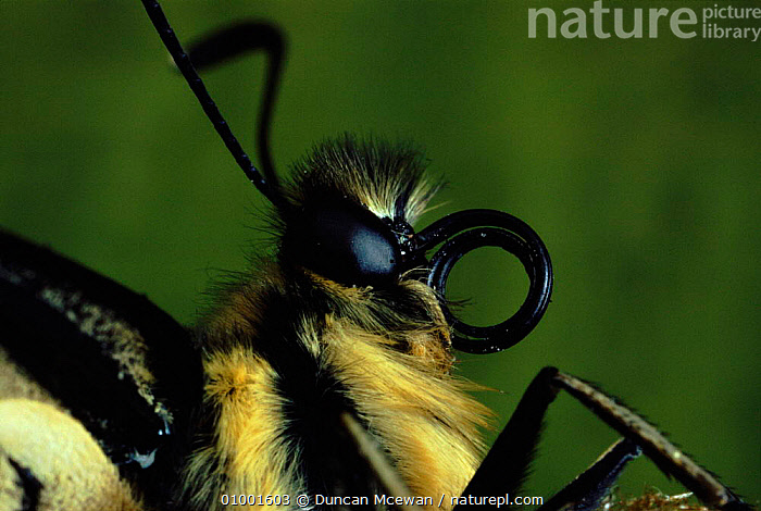 Swallowtail butterfly close-up of head showing coiled proboscis.  ,  CLOSE UPS,DMC,EUROPE,EYES,HEAD,HORIZONTAL,INSECTS,PROBOSCIS,UK,UNITED KINGDOM,INVERTEBRATES,BRITISH,LEPIDOPTERA  ,  Duncan Mcewan