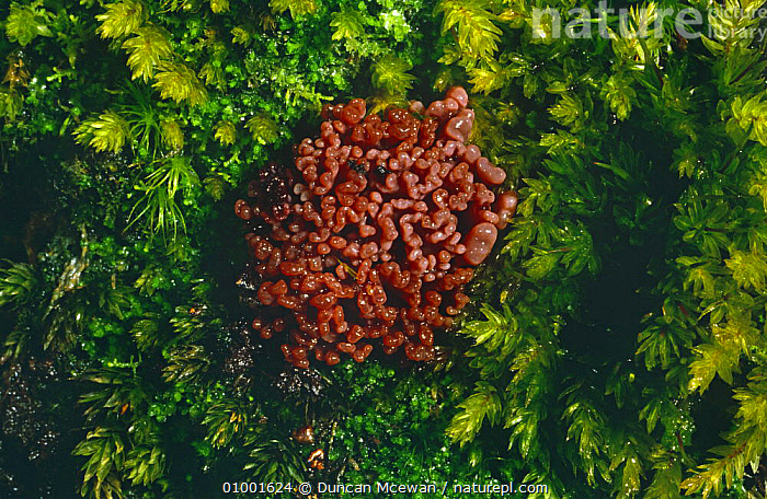 Purple jelly drops (Ascocoryne sarcoides)On moss covered wood, Scotland  ,  EARTH TONGUE,EUROPE,FUNGI,HELOTIACEAE,MOSS,SCOTLAND,UK,United Kingdom,British  ,  Duncan Mcewan