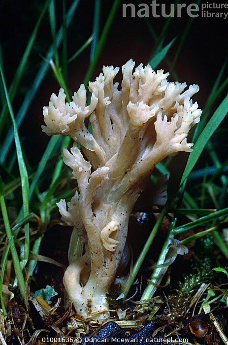 White Coral fungus (Clavulina cristata) Scotland  ,  CLAVARIACEAE, EDIBLE, EUROPE, FAIRY-CLUB, FUNGI, FUNGUS, PLANTS, SCOTLAND, UK,United Kingdom  ,  Duncan Mcewan