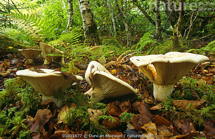 Giant Clitocybe toadstools (Leucopaxillus giganteus) in woodland, Scotland., BROADLEAF, EDIBLE, WOODLANDS, EUROPE, FUNGI, HABITAT, PLANTS, PLEUROTACEAE, SCOTLAND,UK,United Kingdom, Duncan Mcewan