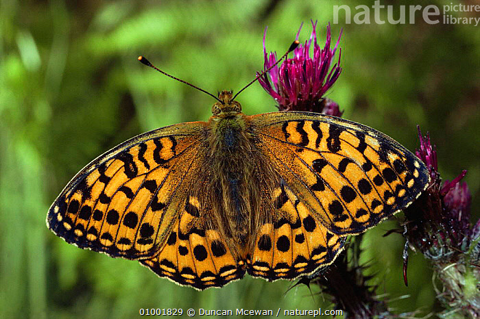 Dark Green Fritillary (Mesoacidalia aglaja) Scotland , UK, ARTHROPODS,BUTTERFLIES,BUTTERFLY,EUROPE,INSECTS,INVERTEBRATES,LEPIDOPTERA, Duncan Mcewan