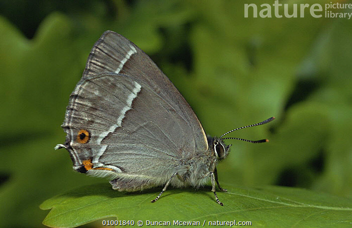 Purple Hairstreak Butterfly (Neozephyrus quercus on leaf, Scotland, , ARTHROPODS, BUTTERFLIES, EUROPE, INSECTS, INVERTEBRATES, LEPIDOPTERA, PURPLE, SCOTLAND, UK,United Kingdom, Duncan Mcewan