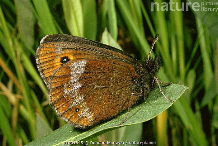 Scotch Argus Butterfly (Erebia aethiops) on leaf with grasses, Scotland  ,  ARTHROPODS,BUTTERFLIES,EUROPE,INSECTS,INVERTEBRATES,LEPIDOPTERA,MOORLAND,SCOTLAND,UK,United Kingdom,British  ,  Duncan Mcewan