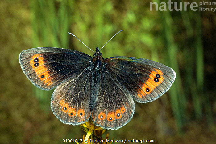 Scotch Argus Butterfly (Erebia aethiops) Scotland, UK, ARTHROPODS,BUTTERFLIES,EUROPE,INSECTS,INVERTEBRATES,LEPIDOPTERA,MOORLAND, Duncan Mcewan