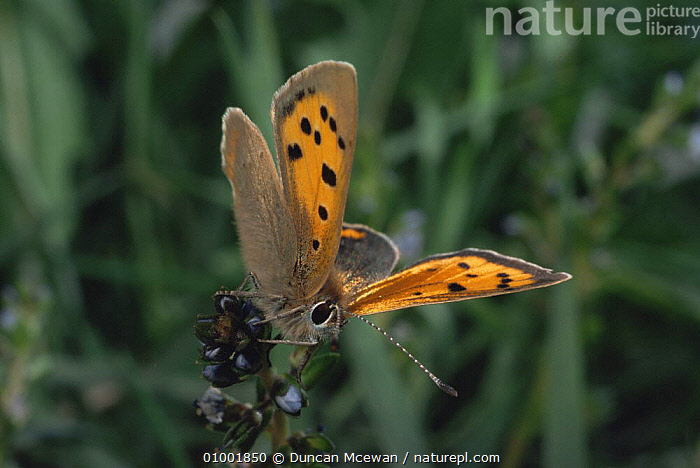 Small Copper Butterfly (Lycaena phlaeas) on plant, Scotland, ARTHROPODS,BUTTERFLIES,EUROPE,INSECTS,INVERTEBRATES,LEPIDOPTERA,PORTRAITS,SCOTLAND, Duncan Mcewan