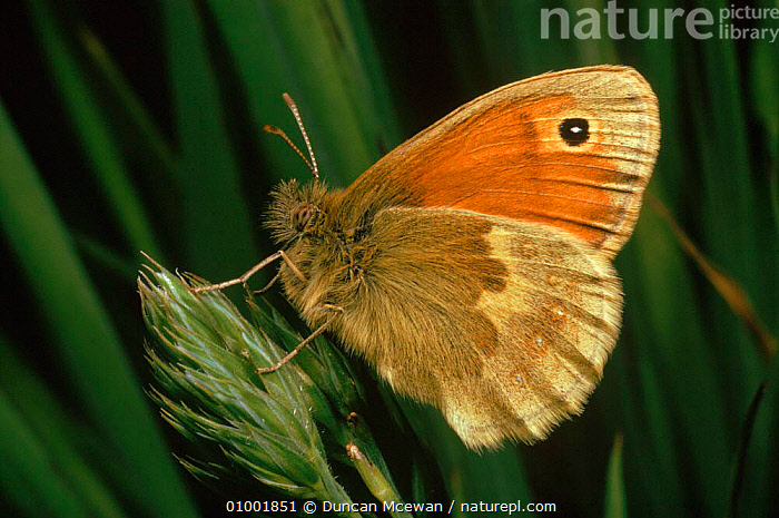 Small heath butterfly resting, Scotland (Coenoympha pamphilus), BROWN,CLOSED,DMC,EUROPE,HEATHLAND,HORIZONTAL,INSECTS,INVERTEBRATE,SCOTLAND,SPOT,UK,WINGS,UNITED KINGDOM,INVERTEBRATES,BRITISH,LEPIDOPTERA, Duncan Mcewan