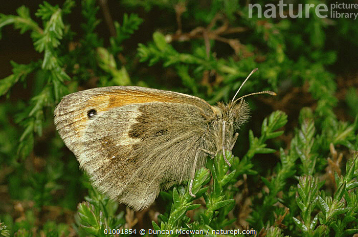 Small Heath Butterfly (Coenoympha pamphilus), Scotland  ,  ARTHROPODS,BUTTERFLIES,EUROPE,HEATHLAND,INSECTS,INVERTEBRATES,LEPIDOPTERA,SCOTLAND,SMALL,UK,United Kingdom,British  ,  Duncan Mcewan