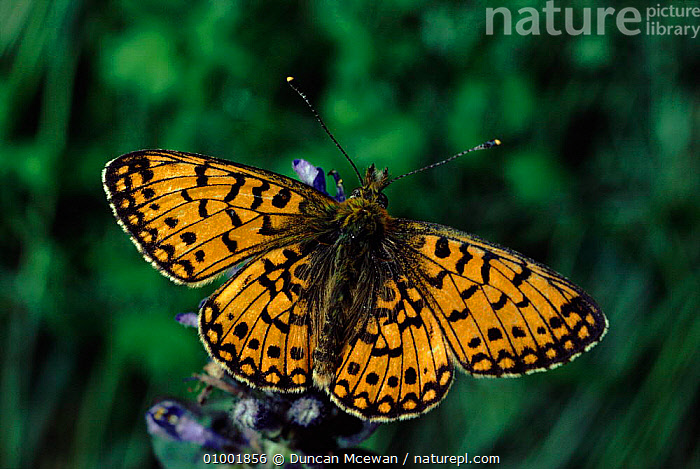 Small pearl-bordered fritillary butterfly, wings spread  ,  , ARTHROPODS, BUTTERFLIES, EUROPE, HORIZONTAL, INSECTS, INVERTEBRATES, LEPIDOPTERA, MOORLAND, SCOTLAND, UK,United Kingdom  ,  Duncan Mcewan