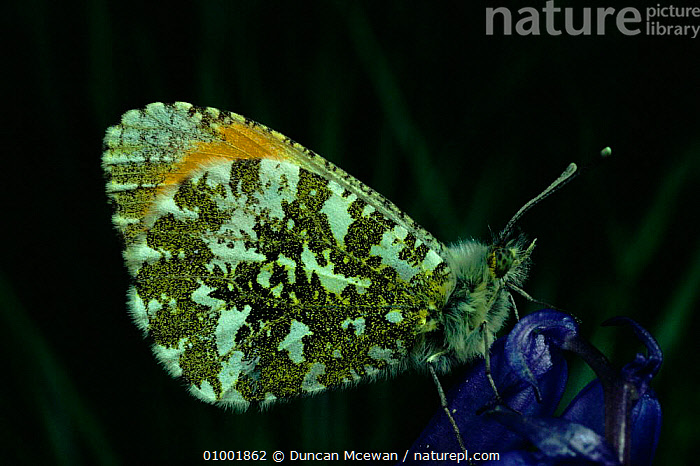 Orange tip butterfly male on bluebell flower, UK.  ,  BLUEBELL,DMC,FLOWERS,HORIZONTAL,INSECTS,MALES,SCOTLAND,UK,WINGS,EUROPE,UNITED KINGDOM,INVERTEBRATES,BRITISH,LEPIDOPTERA  ,  Duncan Mcewan