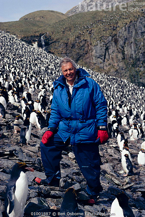 David Attenborough in Macaroni penguin colony. South Georgia 1992. On location for BBC tv series 'Life in the Freezer'  ,  ANTARCTICA,BIRDS,BO,LIFE IN THE FREEZER,PEOPLE  ,  Ben Osborne
