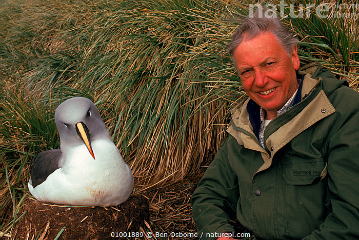 David Attenborough with Grey-headed albatross (Thalassarche chrysostoma) at its nest. On location for 'Life in the Freezer' 1992, ALBATROSSES,ANTARCTICA,BIRDS,HORIZONTAL,NESTS,NHU,PEOPLE,SEABIRDS, Ben Osborne