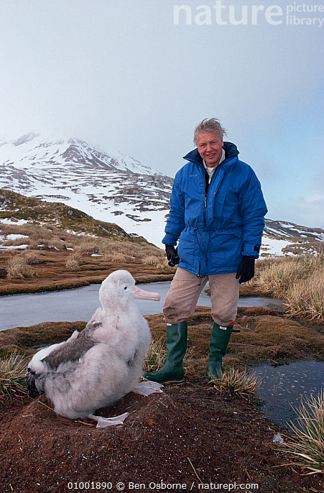 David Attenborough with wandering albatross chick, South Georgia, 1992, on location for BBC series Life in the Freezer, ANTARCTICA,BIRDS,NHU,SEABIRDS,VERTICAL, Ben Osborne