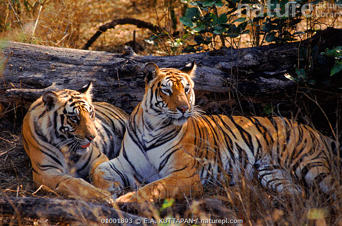 Tigers lying by fallen tree, Bandhavgarh NP, India, BANDHAVGARH,CARNIVORES,ENDANGERED,HORIZONTAL,INDIAN SUBCONTINENT,KU,MAMMALS,NP,RESERVE,TWO,ASIA,NATIONAL PARK,TIGERS,BIG CATS, E.A. KUTTAPAN