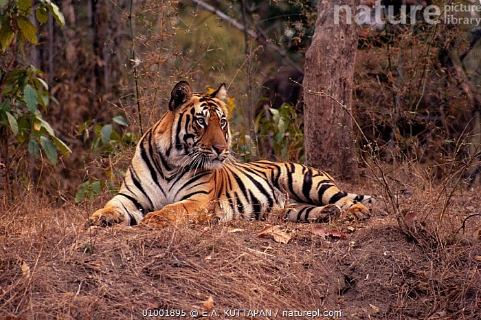 Bengal tiger lying on floor in forest (Panthera tigris) Bandhavgarh NP, Madhya Pradesh, India, BENGAL,BIG CATS,CARNIVORES,CATS,ENDANGERED,INDIAN,INDIAN SUBCONTINENT,MAMMALS,NP,PORTRAITS,RESERVE,RESTING,TIGERS,TROPICAL DRY FOREST,WILD,Asia,National Park, E.A. KUTTAPAN