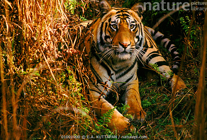 Tiger lying in dense undergrowth, Bandhavgarh NP, India  ,  BANDHAVGARH,BIG,CARNIVORES,CATS,ENDANGERED,HORIZONTAL,INDIAN SUBCONTINENT,KU,MAMMALS,NP,PORTRAITS,ASIA,NATIONAL PARK,TIGERS,BIG CATS  ,  E.A. KUTTAPAN