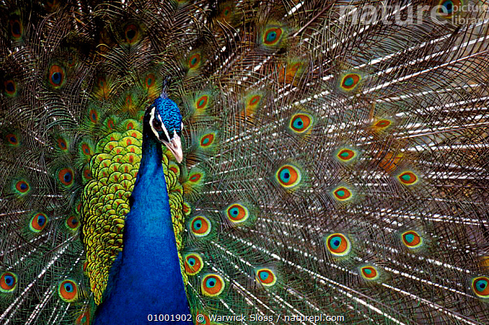Peacock male displaying feathers  ,  ARTY SHOTS,BIRDS,CAPTIVE,DISPLAY,FEATHERS,HORIZONTAL,MALES,PATTERNS,PORTRAITS,WS*,COMMUNICATION, PEACOCK  ,  Warwick Sloss