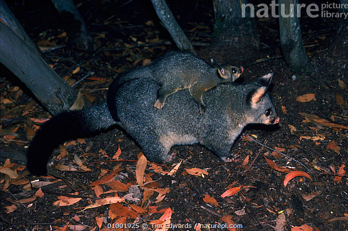 Brushtail possum (Trichosurus vulpecula) carrying young. Australia  ,  AUSTRALIA,CARRYING,CUTE,FAMILIES,HORIZONTAL,MAMMALS,MARSUPIALS,PARENTAL,PROTECTION,YOUNG  ,  Tim Edwards