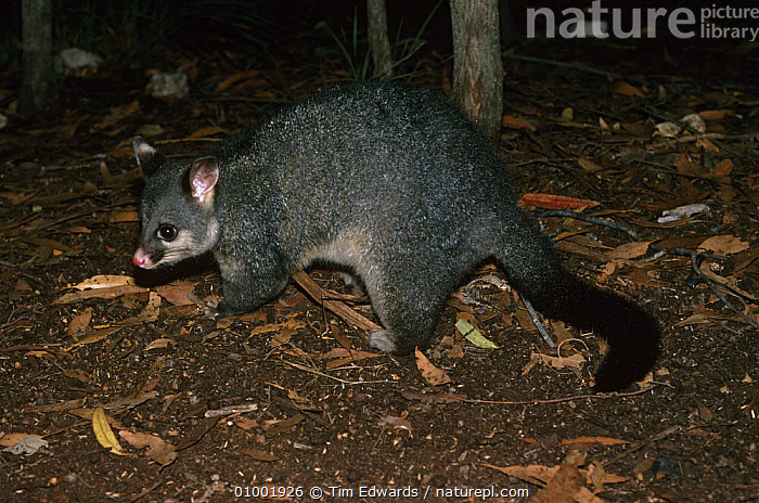 Common brushtail possum {Trichosurus vulpecula} foraging, Australia.  ,  AUSTRALIA,MAMMALS,MARSUPIALS,POSSUMS,VERTEBRATES  ,  Tim Edwards