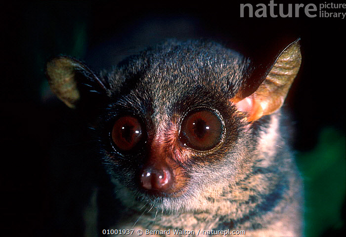 Slender loris head close-up (Loris tardigradus)  ,  CAPTIVE,EARS,EYES,FACES,HEADS,MAMMALS,NIGHT,NOCTURNAL,PRIMATES  ,  Bernard Walton