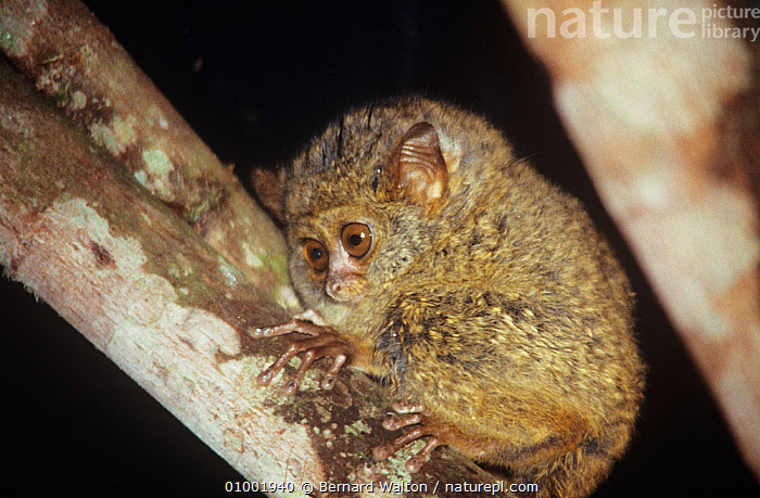 Diana tarsier (Tarsius dentatus / dianae) on branch, Sulawesi, vulnerable species, BRANCHES,ENDANGERED,ENDEMIC,MAMMALS,NIGHT,PRIMATES,SOUTH EAST ASIA,TARSIERS,TARSIIDAE,TARSIUS DIANAE,VERTEBRATES, Bernard Walton