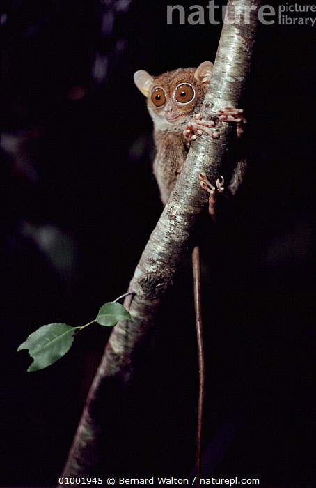 Philippine tarsier (Tarsius syrichta) on tree trunk. Taken during filming of TV programme 'Gremlins of the Night', 1994  ,  1994,CAPTIVE,GREMLINS,OF,THE,NIGHT,MAMMALS,NIGHT,PRIMATES,TREE,TRUNK,VERTICAL  ,  Bernard Walton