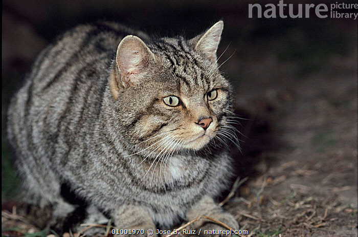 Wild cat, Candeleola Zoo, Avila, Spain  ,  CAPTIVE,CARNIVORES,EUROPE,HORIZONTAL,MAMMALS,RR,SPAIN,ZOO  ,  Jose B. Ruiz