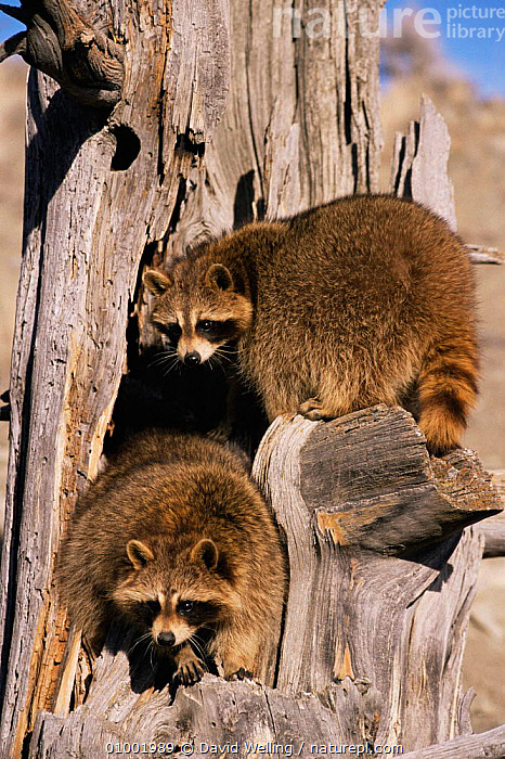 Raccoons on dead tree stump. (Procyon lotor) captive  ,  CARNIVORES,MAMMALS,RACCOONS,TWO,USA,VERTEBRATES,North America  ,  David Welling