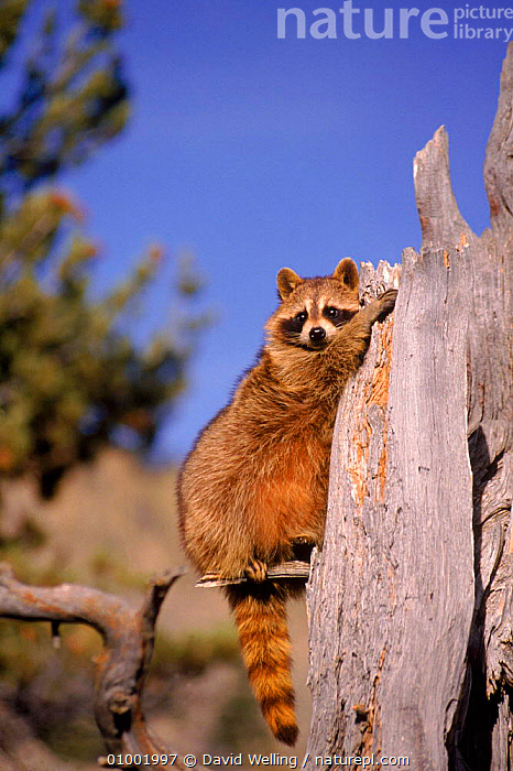 Raccoon on dead tree stump, USA, CAPTIVE,CARNIVORES,CUTE,DW,MAMMALS,USA,VERTICAL,NORTH AMERICA, David Welling