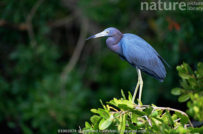 Little blue heron {Egretta caerulea} Sanibel Is, Florida  ,  BIRDS,HERONS,NORTH AMERICA,USA,VERTEBRATES,WETLANDS  ,  Bernard Castelein