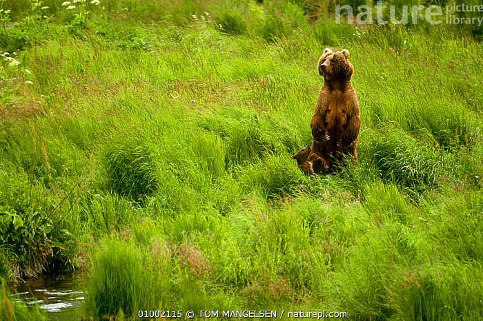 Grizzly mother & young (Ursus arctos) Alaska  ,  BEARS,CARNIVORES,FAMILIES,JUVENILE,NORTH AMERICA,USA ,BROWN BEAR  ,  TOM MANGELSEN