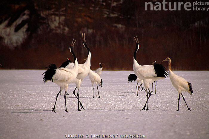 Japanese cranes (Grus japonensis) calling. Japan  ,  BIRDS,CALLING,ENDANGERED,HORIZONTAL,JAPAN,SNOW,VOCALISATION,,WETLANDS,WHITE ,WADING BIRDS,ASIA  ,  Miles Barton