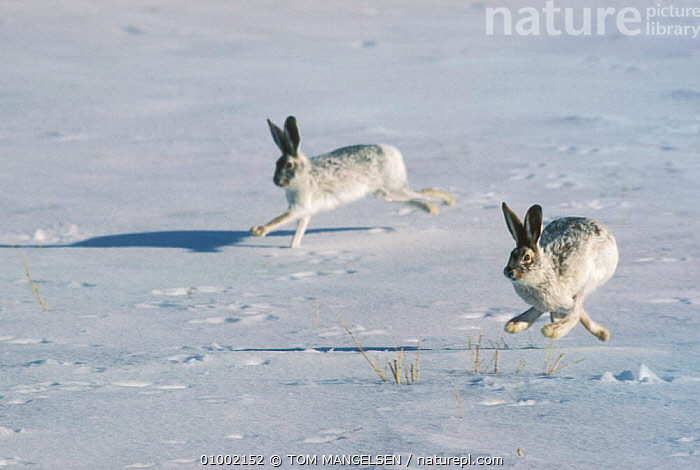 White Tailed Jackrabbits running over snow. (Lepus townsendii) North America, ARCTIC,ACTION,HARES,USA,WINTER,TWO,SNOW,RABBITS,NORTH AMERICA,MAMMALS,LAGOMORPHS, TOM MANGELSEN