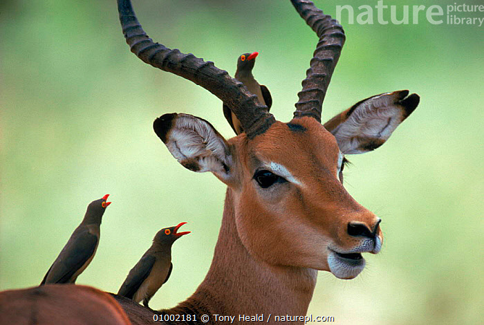 Impala with Oxpeckers. Kruger National Park, South Africa, AFRICA,ANTELOPES,ARTY SHOTS,BIRDS,HORIZONTAL,KRUGER,MAMMALS,MIXED SPECIES*,NP,OUTSTANDING,OXPECKER,PORTRAITS,SOUTHERN AFRICA,SYMBIOSIS*,TH,NATIONAL PARK,Catalogue1, Tony Heald
