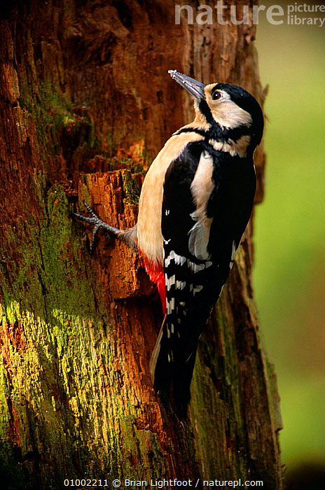 Great Spotted Woodpecker (Dendrocopos major)on tree trunk searching for grubs., BIRDS,SCOTLAND,SPOTTED,UK,VERTEBRATES,WOODPECKERS,Europe,United Kingdom,British, Brian Lightfoot